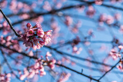 Peach blossom with Blue sky Royalty Free Stock Photography