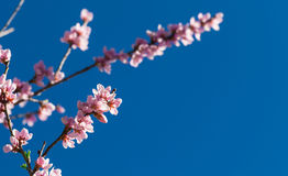 Peach blossom, blue sky Royalty Free Stock Photo