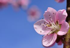 Peach Blossom Blue Sky Spring. Peach blossom flower against blue sky in spring. Macro photo. Springtime concept. Peach flower with blank, copy space royalty free stock photos