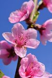 Peach Blossom Blue Sky Spring. Peach blossom flower in spring. Macro photo. Springtime concept. Peach flower with blue sky for the background Stock Photo