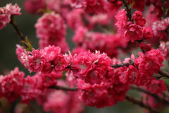 Peach blossom. On the branch stock photos