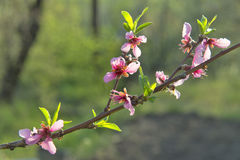 Peach blossom. Royalty Free Stock Images