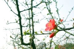 Peach blossom on the branch stock images