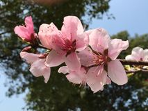 Peach blossom. In the branches Stock Photo