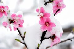 Peach blossom branches covered with fresh snow Stock Image