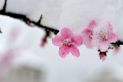 Peach blossom branches covered with fresh snow Royalty Free Stock Images