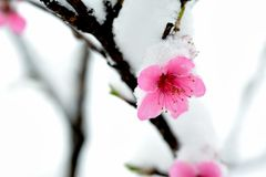 Peach blossom branches covered with fresh snow Stock Photo