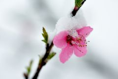 Peach blossom branches covered with fresh snow Royalty Free Stock Photos