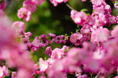 Peach blossom. Bright colors, full of vitality, the breath of spring, peach blossoming open Stock Image