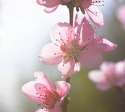 Peach Blossom Bright Sky Spring. Peach blossom flower in spring. Macro photo. Springtime concept. Peach flower bright colors Stock Image