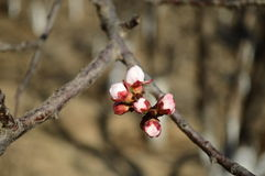 Peach blossom in bud. The Peach blossom in bud in early spring Royalty Free Stock Photo