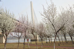 Peach blossom with cable-stayed bridge Royalty Free Stock Photos