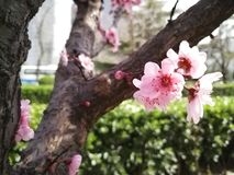 Peach blossom close photo in spring stock photos