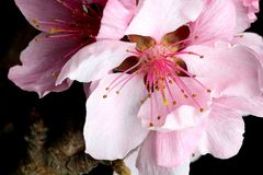 Peach blossom closeup Royalty Free Stock Photo