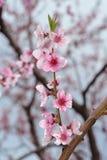 Peach Blossom Closeup On Blurred Greenery Royalty Free Stock Photos