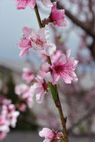 Peach Blossom Closeup On Blurred Greenery Stock Photo