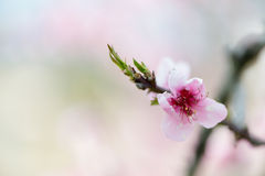 Peach Blossom detail Royalty Free Stock Images