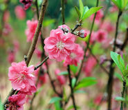 Peach blossom flower Royalty Free Stock Images