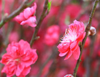 Peach blossom flower Stock Photo