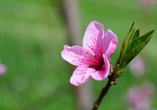 Peach Blossom Green Grass Spring. Peach blossom flower with leaf in spring. Macro photo. Springtime concept. Peach flower with copy space Royalty Free Stock Photo
