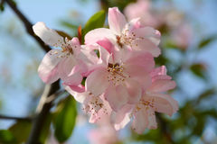 Peach blossom. Peach flower blossom in spring on the tree stock image