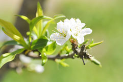 Peach blossom flower royalty free stock photos