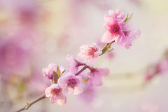 Peach blossom Stock Images