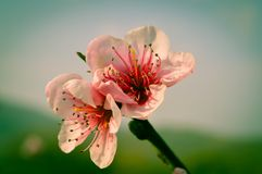 Peach Blossom Flowers Stock Photography