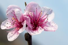 Free Peach Blossom Flowers Stock Images - 119350764