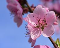 Peach Blossom Blue Sky Spring Stock Images