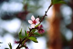 Peach blossom flowers on single twig. A photograph showing some beautiful pink peach tree blossoms on a twig with a few green leaves and buds. Taken in spring stock photo