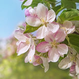 Peach blossom flowers Stock Images