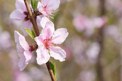Peach blossom in full bloom Royalty Free Stock Image