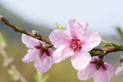 Peach blossom in full bloom Stock Photography