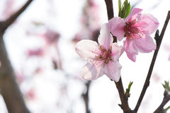 Peach blossom in full bloom Stock Photos