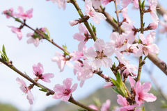 Peach blossom in full bloom Royalty Free Stock Photo
