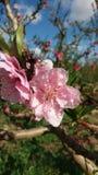 Peach blossom in full bloom stock image