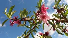 Peach blossom in full bloom stock photos