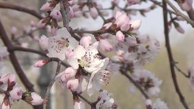 Peach blossom in full bloom. See the peach blossom in full bloom in March, the grass green, in the set off of sunshine particularly beautiful, delicate and stock footage