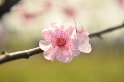 The peach blossom in full bloom in spring at Baitang Botanical Garden Suzhou,China. Stock Photo