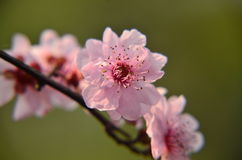The peach blossom in full bloom in spring at Baitang Botanical Garden Suzhou,China. Stock Image