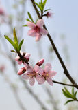 The peach blossom in full bloom in spring at Baitang Botanical Garden Suzhou,China. Stock Images