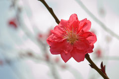 Peach blossom in full bloom in the spring Royalty Free Stock Photos
