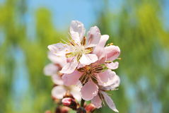 Peach blossom. In the garden and sunny day many peach blossom stock photography