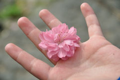 Peach blossom in the hand Stock Image