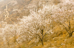 Peach Blossom hillside. Everywhere on the slopes of wild peach trees, full of flowers royalty free stock photos
