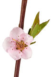 Peach blossom, isolated on white background Stock Image