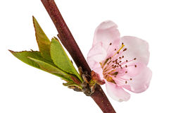 Peach blossom, isolated on white background Stock Photography