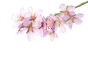 Peach  in blossom. Stock Images