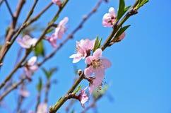 Peach blossom At Khun Sathan National Park. Peach blossom At National Park royalty free stock photography